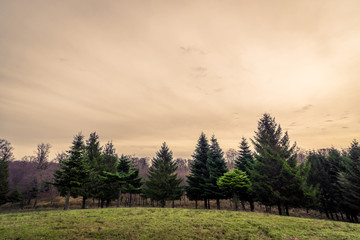 Pine trees on a hillside in the sunset