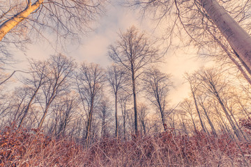 Tall trees in the winter sunrise