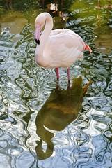 Rosa Flamingo steht im Wasser