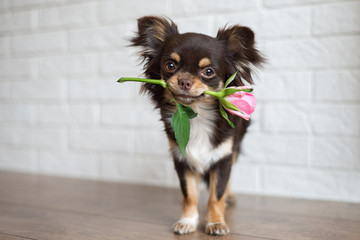 chihuahua dog standing with a pink rose