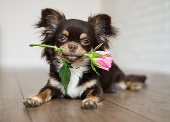 adorable chihuahua dog lying down with a rose