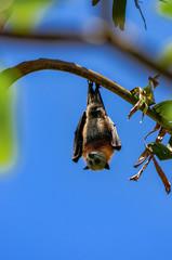 Fledermaus hängt an einem Ast