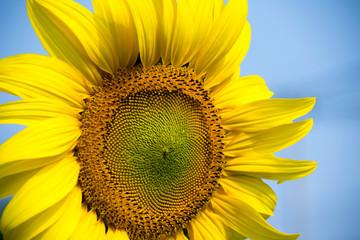 Beautiful Close up sunflower and blue sky