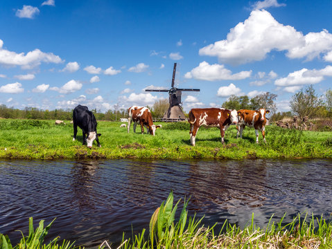 Typical Dutch landscape with cows in the meadow and a windmill near the water