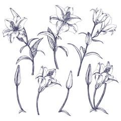 Flower set: highly detailed hand drawn of Lily flowers. ?lement for your design. Vector illustration