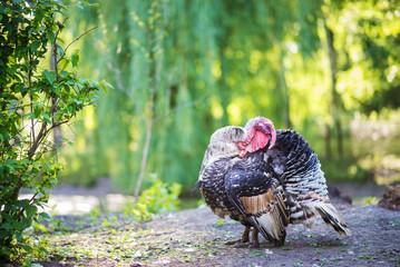 turkey in zoo
