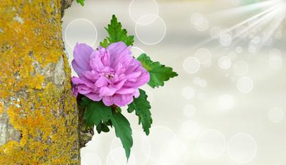 Ibisco lilla - HIBISCUS SYRIACUS LAVENDER