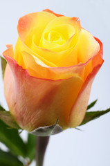 Fototapete - Close up of orange and yellow rose flower