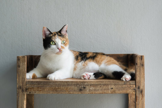 Cute calico cat sitting and looking