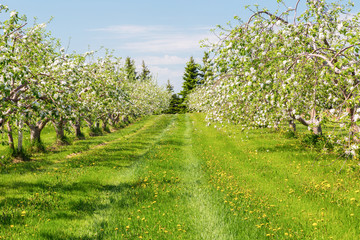 Springtime apple orchard at the peak of bloom.