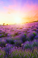 Sunset over a summer lavender field in Tihany