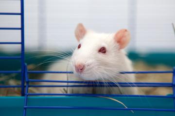 Cute pet rat
