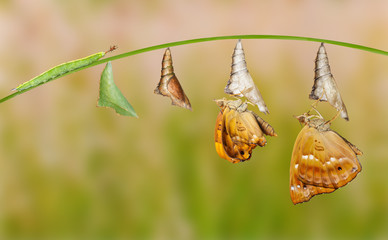 Life cycle of female black prince butterfly
