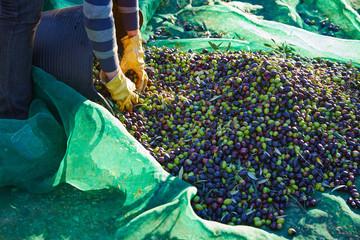 Olives harvest picking hands at Mediterranean
