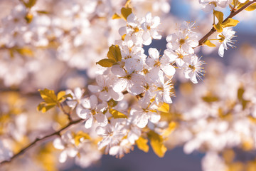 Spring cherry blossoms Sakura