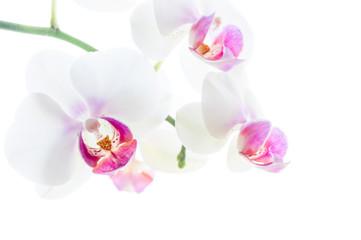 isolierte weiße Orchideenblüten