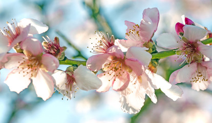 Wall Mural - Spring beauty : fragrant almond blossoms :)