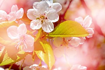 spring landscape.  Spring flowering garden.