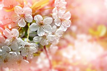 . Flowering cherry. Spring flowering garden.