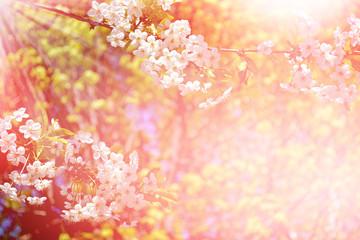 Flowering cherry. Spring flowering garden.