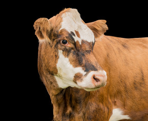 Cow portrait isolated on black background