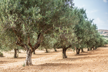 Photo sur Aluminium Oliviers Olive trees garden.
