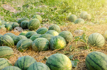 Watermelon in garden for harvest.