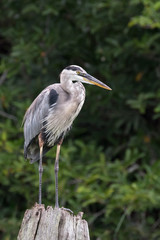 Wall Mural - Great Blue Heron perched on a log with green foliage background. Taken in Florida, USA.