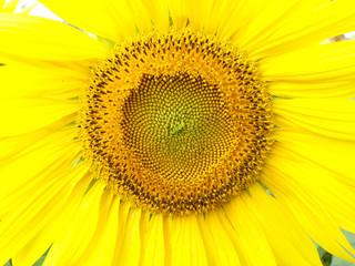 Close-up sunflowe