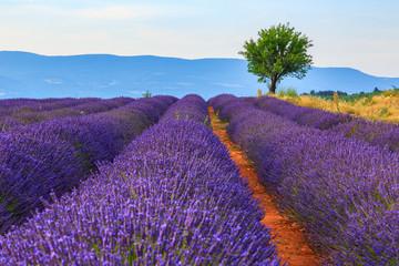 Lavender field summer landscape near Sault