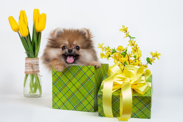 cute little puppy Pomeranian in a green gift box on a background of yellow flowers