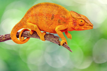 caméléon sur branche sèche