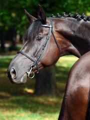Portrait of a bay thoroughbred stallion on dark bushes background
