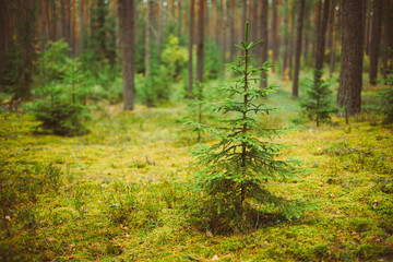 Small growing spruce fir tree in coniferous forest