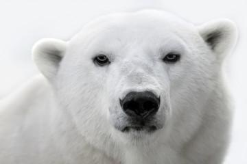 Deurstickers Ijsbeer Portrait of a white polar bear.
