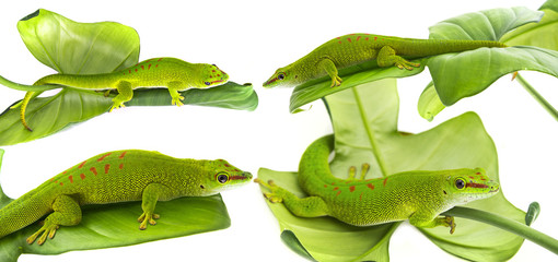Wall Mural - Phelsuma madagascariensis - gecko