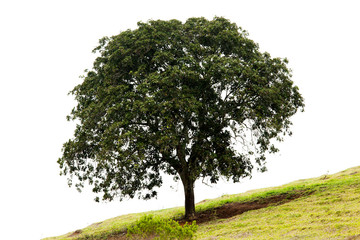Isolated tree in a slope grass soil