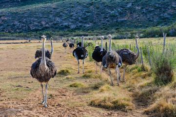 Straußenfarm in Oudtshoorn; Südafrika