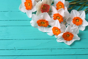Background with bright orange  daffodils flowers  on turquoise