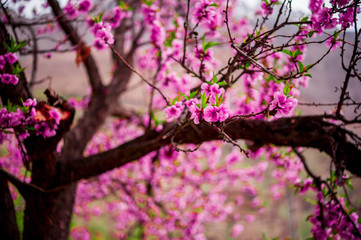 Apricot blossom, Northern Area of Pakistan