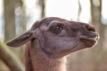 lama at the zoo