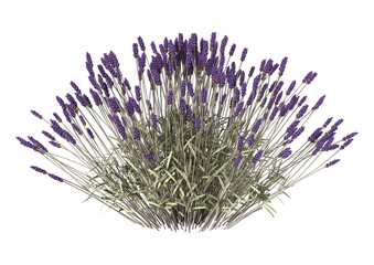 Lavender Flowers on White