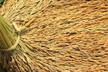 Closeup of rice paddy