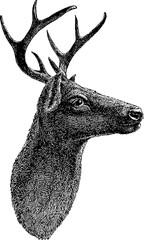 Vintage drawing deer