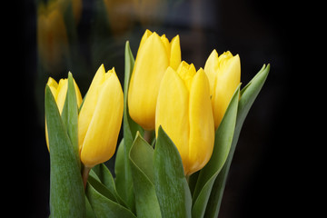 Yellow tulip flowers on black background