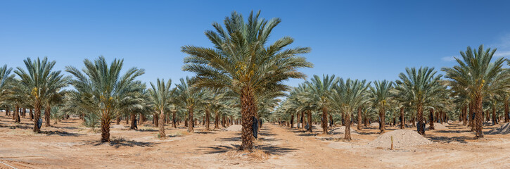 Panoramic view on plantation of date palms