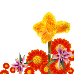 Canna Lily,Mexican sunflower and lily flower on white background