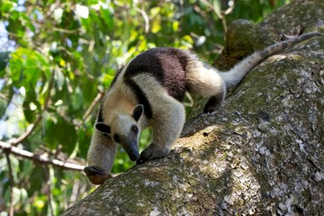 a tamandua walking on a tree at corcova national park in costa rica Fototapete