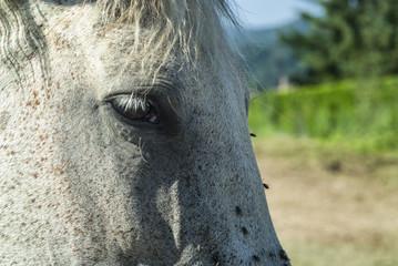 White horse in Catalunya