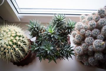 Potted haworthia on the white windowsill between two cactuses. Selective focus on haworthia.